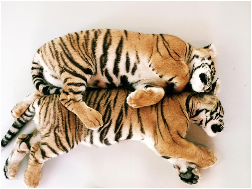 Tiger cub love
